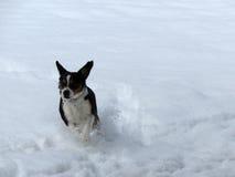 Snö Jumper Dog Fotografering för Bildbyråer