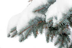 Snö ligger på en filial av en blå gran Arkivbild