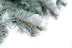 Snö ligger på en filial av en blå gran Arkivbilder