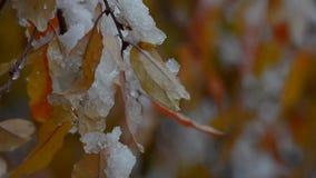 Snö ligger på färgrikt, höstsidor stock video