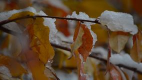 Snö ligger på färgrikt, höstsidor arkivfilmer