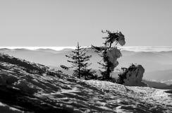 Snö och granar Fotografering för Bildbyråer