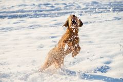 Snö och hopp för Briard valplås Royaltyfria Bilder