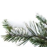 Snö och julgran på vit bakgrund Royaltyfri Foto