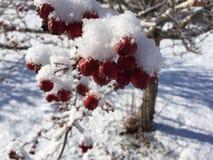Snö och röda bär på träd 1 Arkivbild