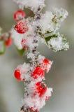 Snö på bär Royaltyfria Bilder