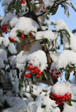 Snö på bär Arkivfoton