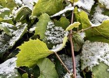 Snö på de gröna sidorna av druvor royaltyfria foton