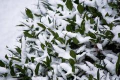 Snö på en buske royaltyfri foto