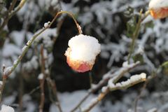 Snö på en orange rosa färg blommar och sidor Royaltyfria Bilder