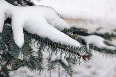 Snö på filialen av den blåa granen royaltyfria bilder