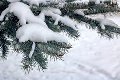 Snö på filialen av den blåa granen arkivfoto