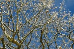 Snö på filialer med bakgrund för blå himmel Arkivfoton