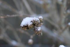 Snö på filialer och död frukt arkivbilder