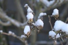 Snö på filialer och sidor royaltyfri bild