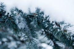 Snö på filialerna av blåtten Arkivfoton