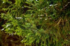 Snö på grön prydlig filial Arkivfoton
