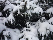 Snö på gran-träd Royaltyfri Foto