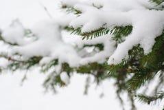 Snö på granfilial Royaltyfri Foto