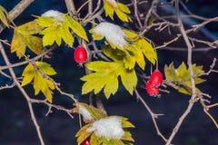 Snö på gulingsidor i mörkret royaltyfria bilder