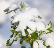 Snö på hallonbladvåren Royaltyfri Fotografi