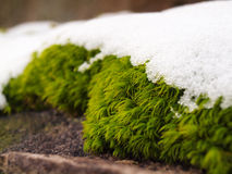 Snö på mossa Royaltyfria Bilder