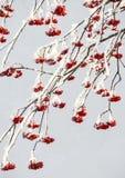 Snö på röda bär Arkivfoto