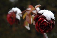 Snö på rosor Royaltyfri Bild