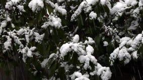 Snö som faller och traver upp på rhododendronbuskar lager videofilmer