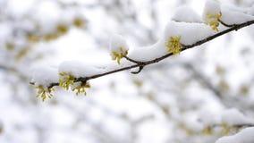 Snö som faller på cornealian körsbärsröda blommor stock video