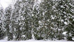 Snö som faller på den gröna thujaträdbakgrunden arkivfilmer