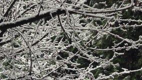 Snö som faller på trädfilialer stock video