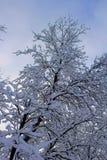 Snö som klamra sig fast intill en ek i molnig vinterhimmel för vinter royaltyfri bild