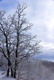 Snö som klamra sig fast intill en ek i vinter arkivfoton