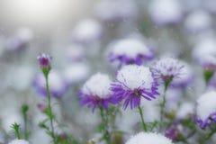 Snö-täckt alpin aster för blommor Royaltyfri Bild
