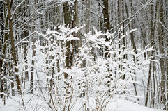 Snö-täckt buske i skogen Fotografering för Bildbyråer