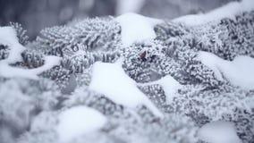 Snö-täckt gran i en vinter parkerar närbild stock video