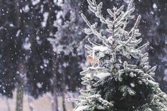 Snö-täckt gran-träd med pepparkakakakan Fotografering för Bildbyråer