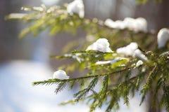 Snö-täckt granfilial Arkivfoto