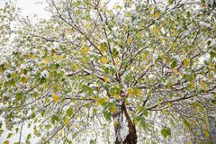 Snö-täckt guling-gräsplan leavesï¼ ŒHangzhou royaltyfri fotografi