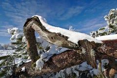 Snö-täckt krokigt sörjer trädet framme av en blå himmel royaltyfria bilder