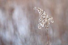Snö täckt ogräs mot en suddig bakgrund Arkivfoto