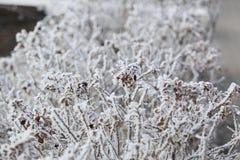 Snö-täckt rosa buske arkivbild