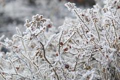 Snö-täckt rosa buske arkivfoto