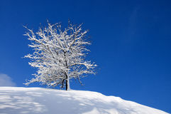 Snö-täckt träd på en bakgrund av blå himmel Arkivbild