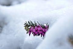 Snö-täckt vårhed i den blomErica carneaen arkivbild