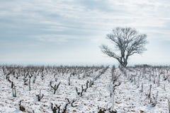 Snö-täckt vingård i vinter Arkivbild
