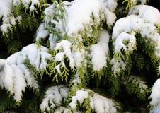 Snö täckt vintergrön thujafilial i vinter Royaltyfria Foton