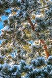 Snö täckte barrträd i solen royaltyfria bilder
