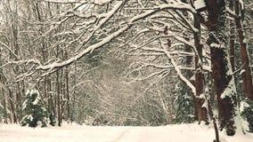 Snö-täckte filialer av ekar i vinter i December stock video